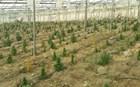 Big Business στο Ηράκλειο: Τεράστια φυτεία χασίς μέσα σε θερμοκήπιο