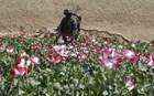 Αυξήθηκε η καλλιέργεια οπίου στο Αφγανιστάν