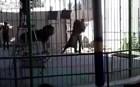 Βίντεο: Λιοντάρι κατασπαράζει θηριοδαμαστή μπροστά στην κάμερα