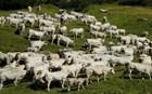 Έσφαξαν ολόκληρο κοπάδι πρόβατα την ώρα του «Χριστός Ανέστη»