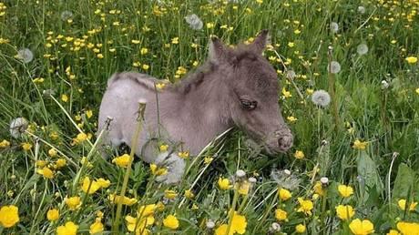 Ο αξιαγάπητος Γκιούλιβερ διεκδικεί τον τίτλο του μικρότερου αλόγου στον κόσμο (pics&vid)