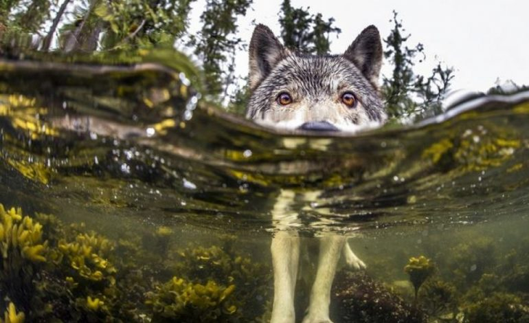 Οι άγνωστοι λύκοι της θάλασσας που ζουν στον ωκεανό και κολυμπούν για ώρες!
