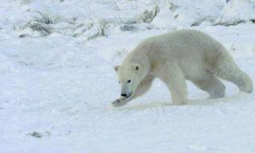 Πλήρωσε 1.300 ευρώ πρόστιμο γιατί τρόμαξε μία πολική αρκούδα