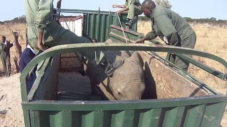 Σοκάρει βίντεο που καταγράφει την αιχμαλωσία ελεφάντων