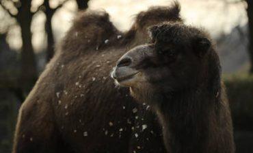 Η περιπέτεια μιας καμήλας στους δρόμους του Οχάιο (pic&vid)