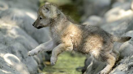 Πέντε αρκτικοί λύκοι από τη Σερβία μετακόμισαν στην Κίνα (pics)