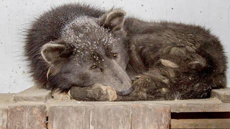 Μεντβεμπάκα, ο «αρκουδόσκυλος» της Σιβηρίας που συγκίνησε το ίντερνετ
