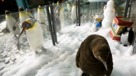 Καναδάς: Το ψύχος ακύρωσε το ρεβεγιόν των βασιλικών πιγκουίνων