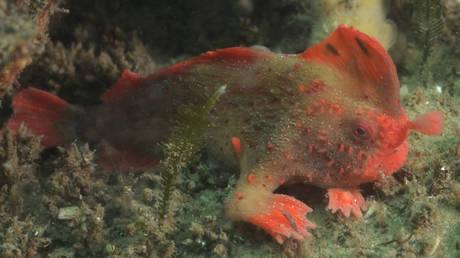Σπάνιο είδος ψαριού εντοπίστηκε στις ακτές της Τασμανίας