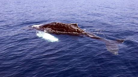 Φάλαινα βάζει δύτη κάτω από το πτερύγιό της για να τoν προστατέψει από καρχαρία (vid)