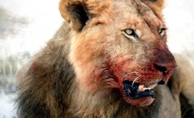 Λιοντάρια κατασπάραξαν λαθροκυνηγό στην Αφρική
