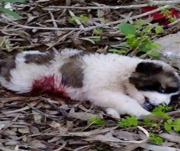 Κτηνωδία στο Μεσόλογγι: Σκότωσαν με πυροβόλο 7 κουτάβια - Επικηρύχτηκαν οι δράστες