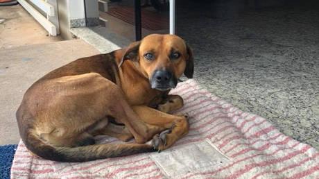 Ο «Χάτσικο» της Βραζιλίας: Σκύλος πηγαίνει κάθε μέρα στο νοσοκομείο όπου πέθανε ο ιδιοκτήτης του