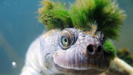 Η χελώνα με το punk-rock «χτένισμα» απειλείται με εξαφάνιση (vid)