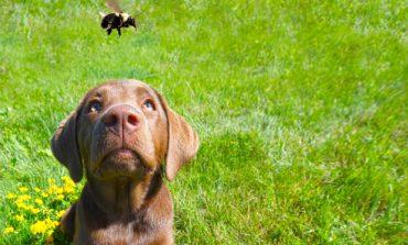 Τι μπορούμε να κάνουμε εάν ο σκύλος μας τσιμπηθε από μέλισσα;