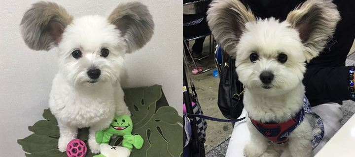Το απίστευτο σκυλί με τα αυτιά… Mickey Mouse