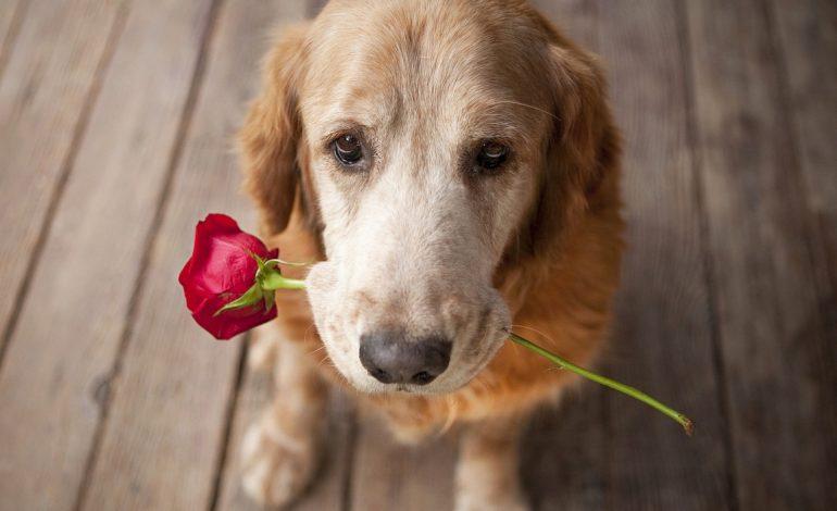 Μπορεί ο σκύλος σου να είναι ερωτευμένος;