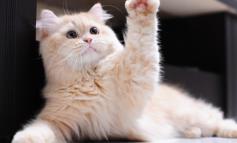 Οι γάτες είναι κυρίως «δεξιόχειρες» και οι γάτοι «αριστερόχειρες»!