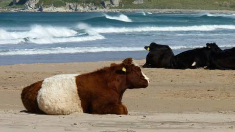 Πράσινο φως για είσοδο… αγελάδων σε παραλίες γυμνιστών στη Σουηδία