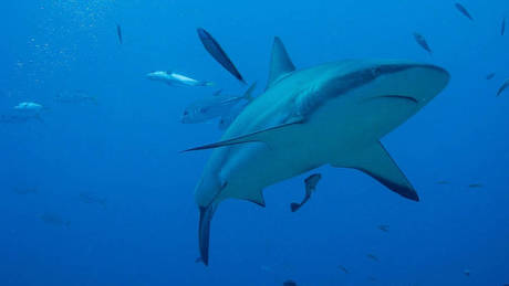 Σκότωσαν καρχαρίες για να… προστατεύσουν λουόμενους από επιθέσεις