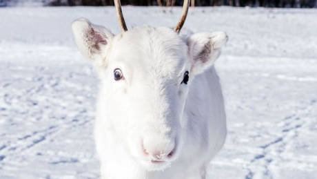 Εντυπωσιάζει το σπάνιο είδος λευκού ταράνδου που εντοπίστηκε στη Νορβηγία! (pics)