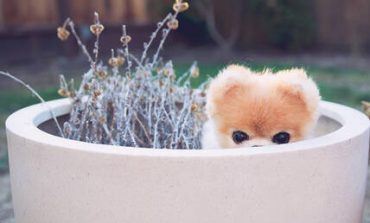 Πέθανε ο Boo, o ομορφότερος σκύλος στον κόσμο (pics)