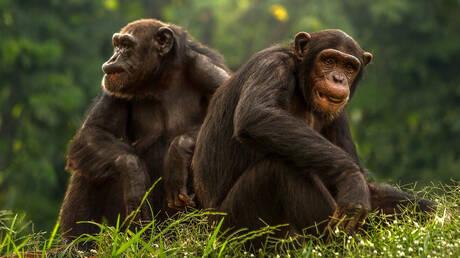 «Prison Break» για χιμπατζήδες στην Ιρλανδία