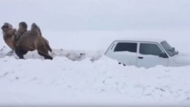 Καμήλα ξεκολλάει από τα χιόνια ένα Lada Niva (vid)