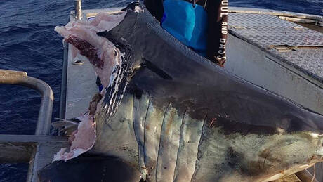 Μυστήριο με γιγάντιο αποκεφαλισμένο καρχαρία – Τι πλάσμα τού πήρε το κεφάλι; (pics)
