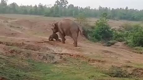 Ελεφαντίνα ποδοπάτησε και σκότωσε άνδρα για να προστατέψει το μωρό της (pics&vid)