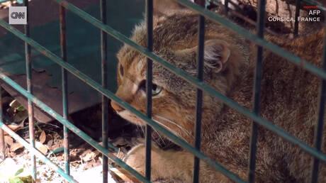 Γάτα… αλεπού: Το νέο υποείδος της Κορσικής δεν αποτελεί πια αστικό μύθο