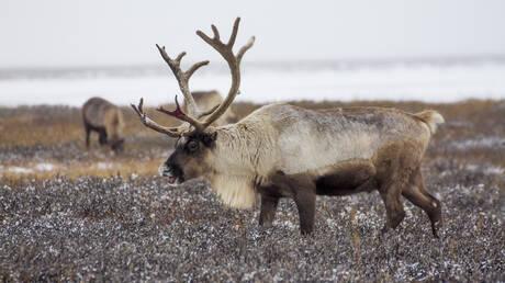 Νεκροί 200 τάρανδοι στην Αρκτική εξαιτίας της κλιματικής αλλαγής