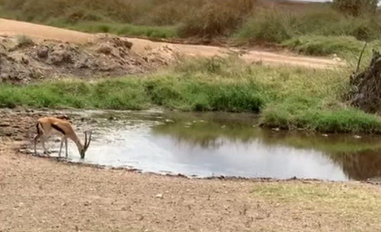 Τανζανία : γαζέλα ξεφεύγει από λιοντάρι