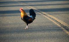Η ψυχολογία ενός κοτόπουλου που διασχίζει το δρόμο. Τι είπαν για το εγχείρημα διάσημες προσωπικότητες.