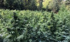 Καλλιεργούσαν δενδρύλλια κάνναβης ως 3,5 μέτρα και αξίας άνω του 1 εκατομμυρίου ευρώ