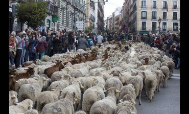 Ασυνήθιστο θέαμα στη Μαδρίτη: Πρόβατα κατέκλυσαν τους δρόμους