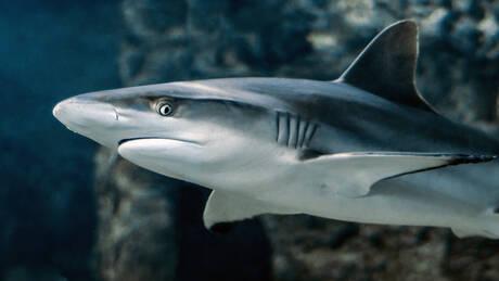 Αυστραλία: Καρχαρίας επιτέθηκε σε τουρίστες – Ακρωτηριάστηκε ένας 28χρονος (pics&vid)