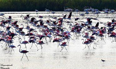 Ξάνθη: Τα εντυπωσιακά φλαμίνγκο της λίμνης Βιστωνίδας