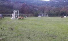 Πρόβατα μπήκαν σε γήπεδο ποδοσφαίρου και έφαγαν χλοοτάπητα αξίας 150.000 ευρώ