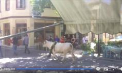ΛΕΣΒΟΣ : Το βάρβαρο έθιμο της περιφοράς και σφαγής του Ταύρου