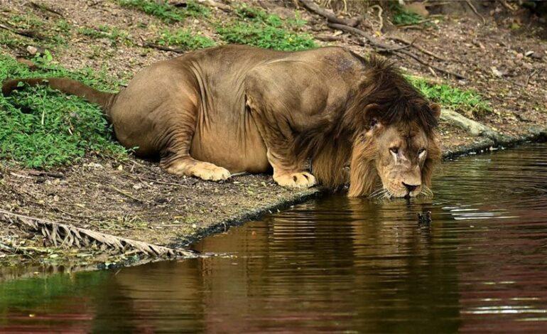 Θετικά στον κορονοϊό οκτώ λιοντάρια σε ζωολογικό κήπο στην Ινδία
