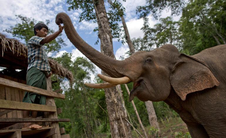 Χωρικοί στη Μιανμάρ απελευθέρωσαν με ζητωκραυγές παγιδευμένους ελέφαντες από λάκκο