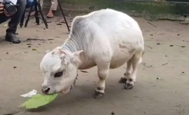 Μπανγκλαντές: Η αγελάδα μινιατούρα που θα μπει στο βιβλίο Γκίνες