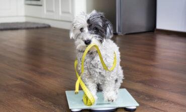 Ποιο είναι το υγιές βάρος για τον σκύλο σας;